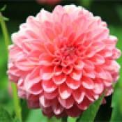 Flower Seeds (91)
